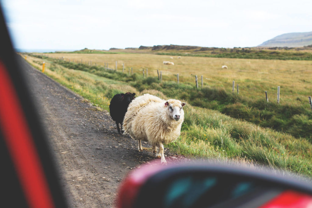 autofahren-island-mietwagen-schafe-vatnsnes