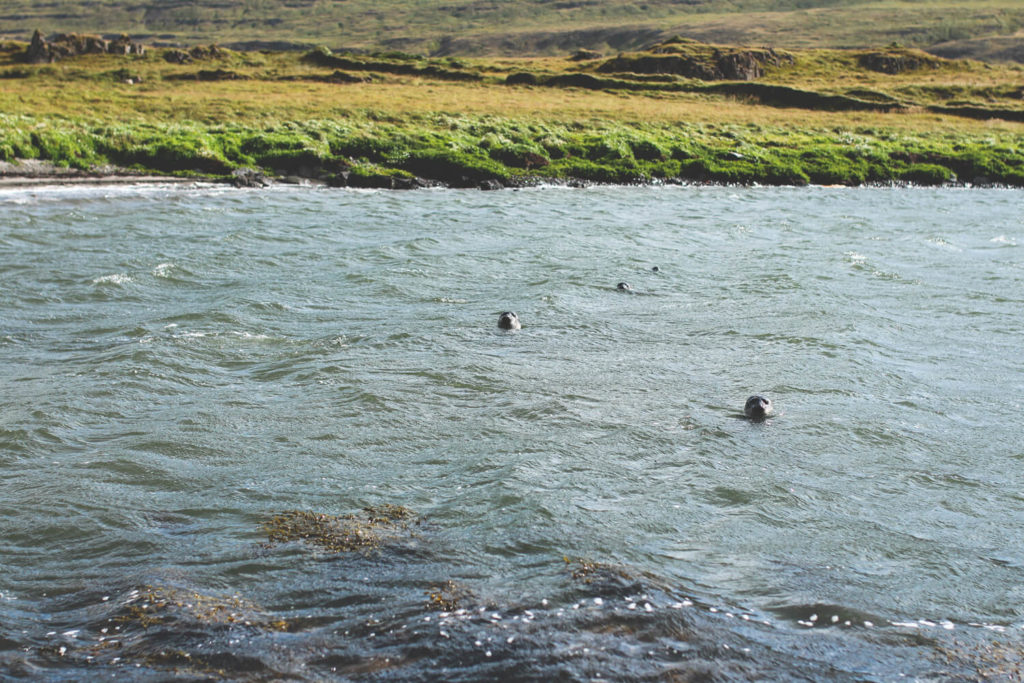 island-rundreise-norden-halbinsel-vatnsnes-Illugastadir-robben