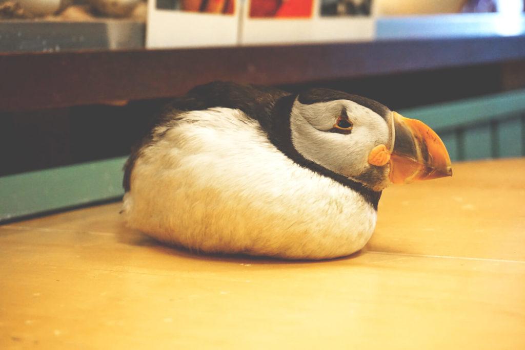 puffin-papageientaucher-vestmannaeyjar-2