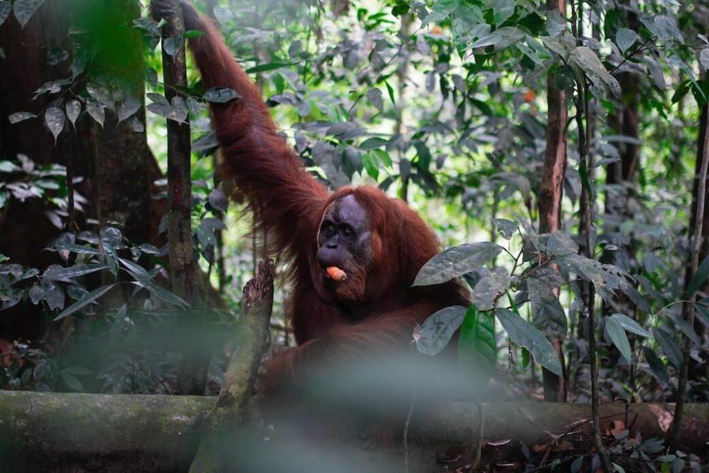 Bukit-Lawang-Sumatra-Indonesien-Regenwald-Orang-Utan-7