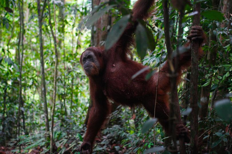 Bukit Lawang – eine Reise zu den letzten freilebenden Orang Utans