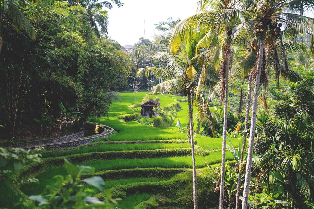 Ubud-Indonesien-Bali-Reisefelder-Reisterrasse