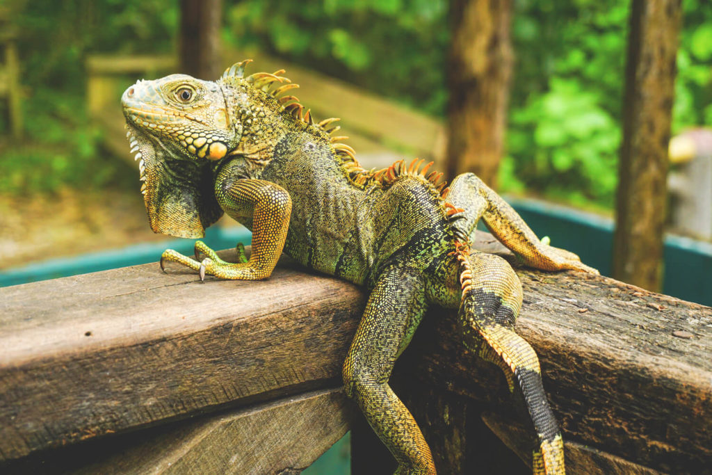 iguana-belize-zoo-highlights-leguane