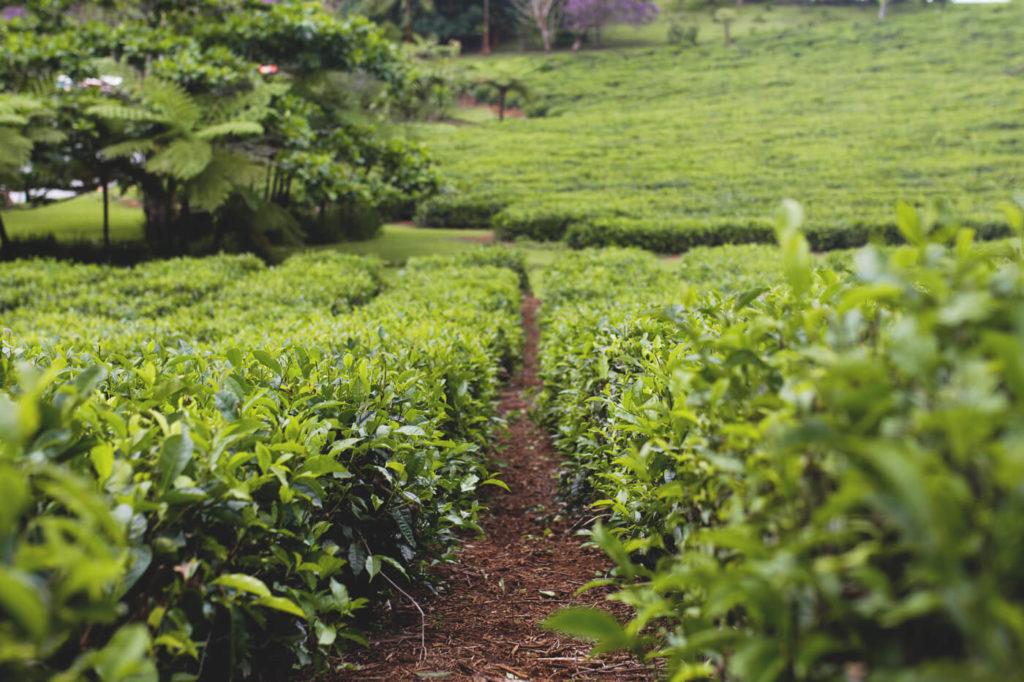 mauritius-sehenswuerdigkeiten-highlights-bois-cheri-teeplantage