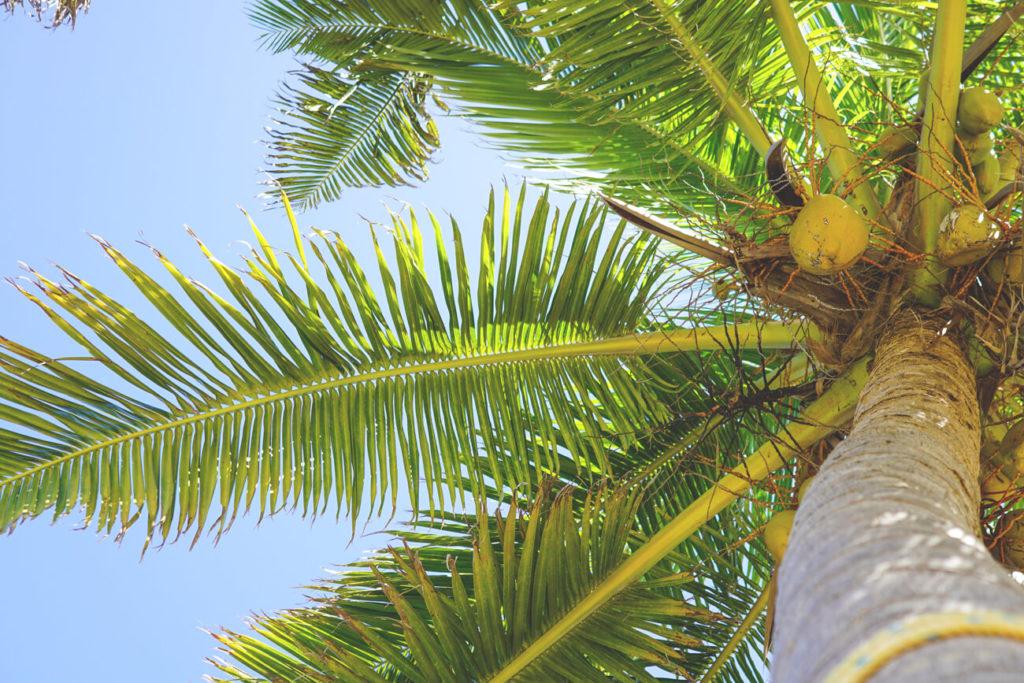 palmen-belize-karibik-silk-cayes
