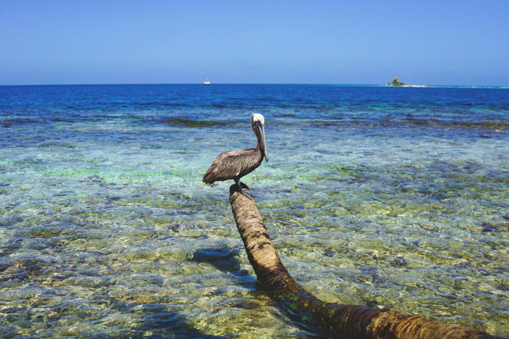 pelikane-belize-karibik-silk-cayes