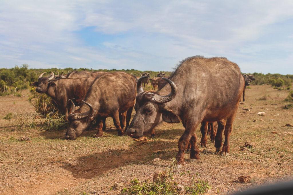Addo-Elephant-Park-Suedafrika-Bueffel-Familie