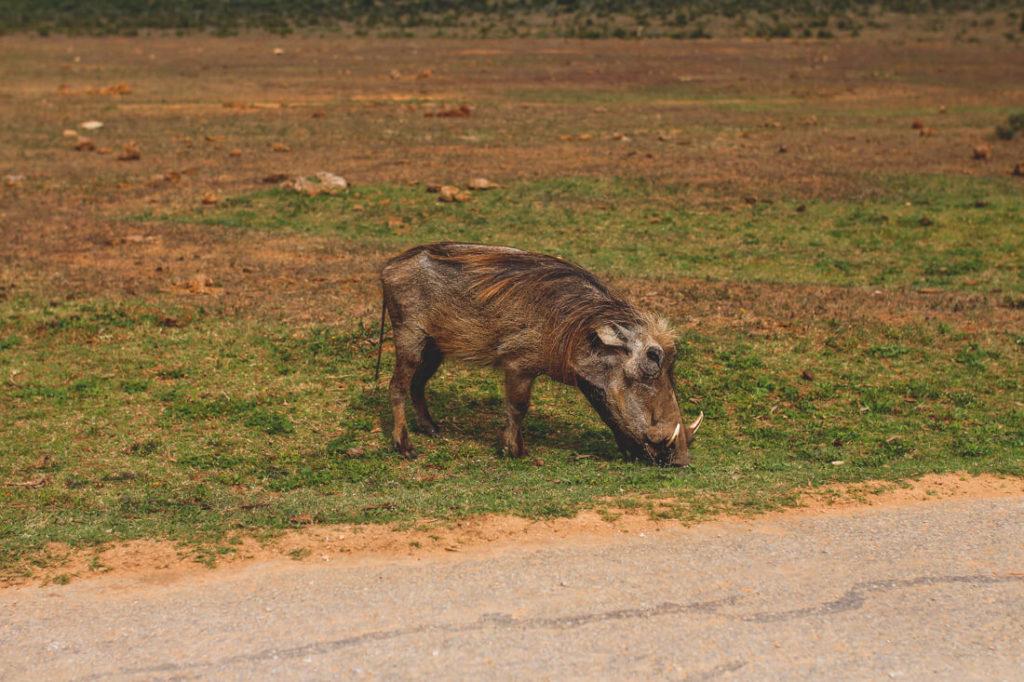 Addo-Elephant-Park-Suedafrika-Warzenschwein