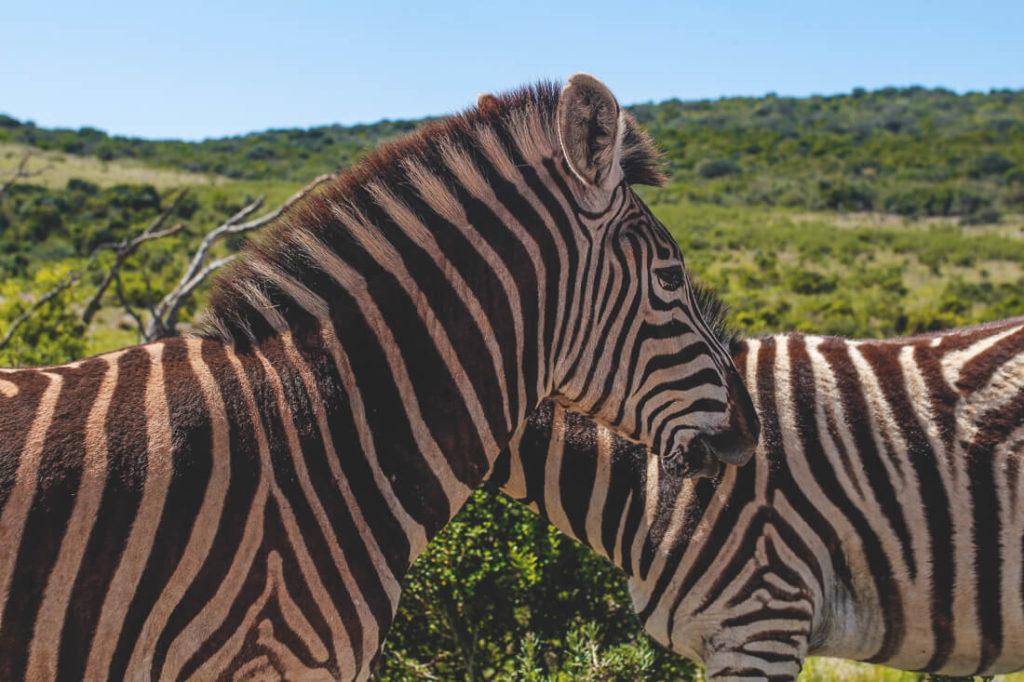 Addo-Elephant-Park-Suedafrika-Zebras-1