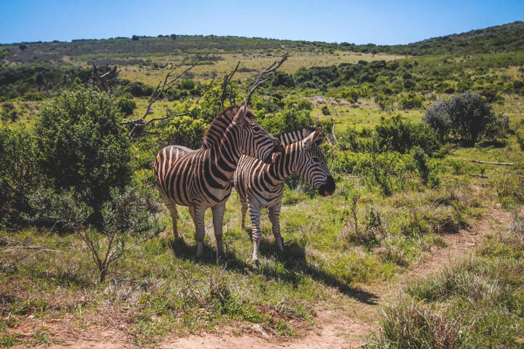 Addo-Elephant-Park-Suedafrika-Zebras