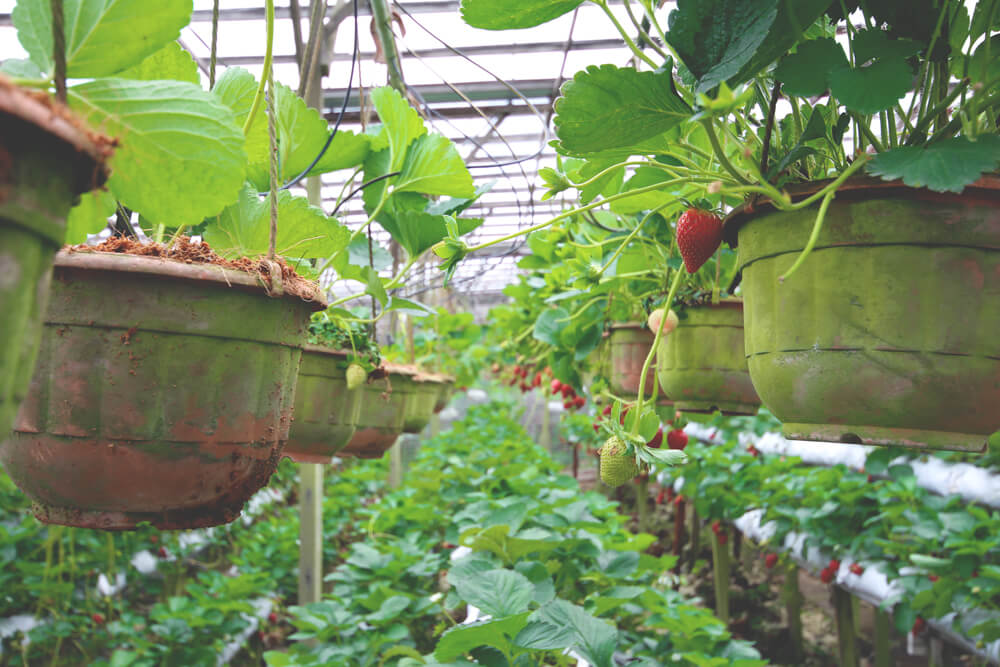 cameron-highlands-felder-erdbeeren-pfluecken