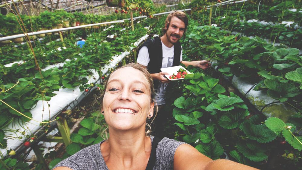 cameron-highlands-malaysia-erdbeeren-planatagen