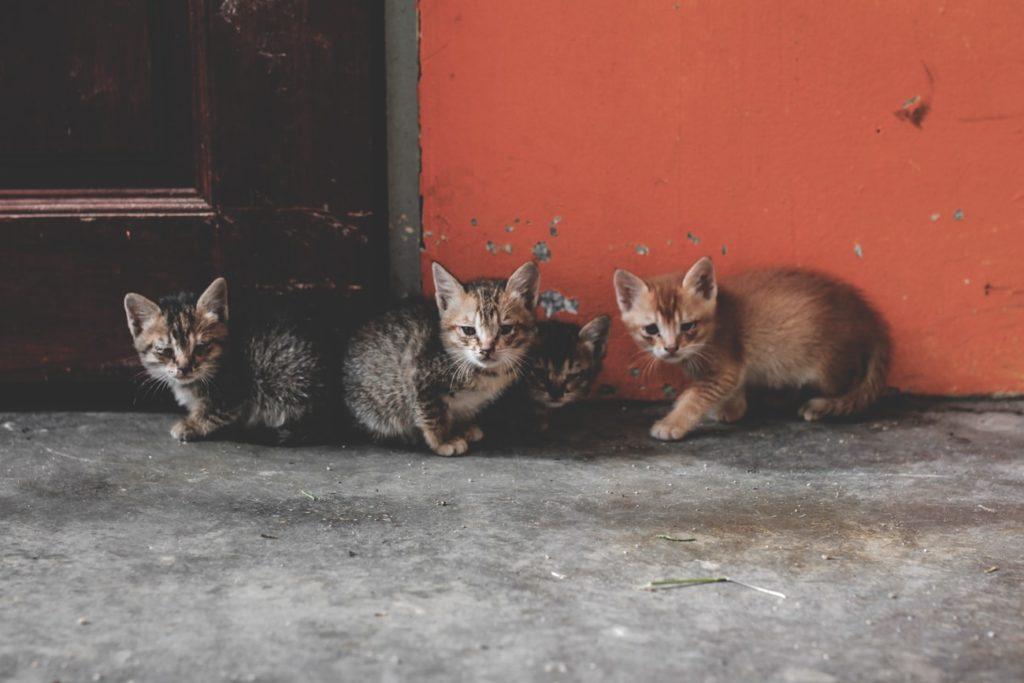 cameron-highlands-malaysia-katzen-babies-min