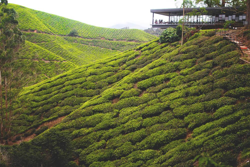 cameron-highlands-malaysia-teeplanatge-felder