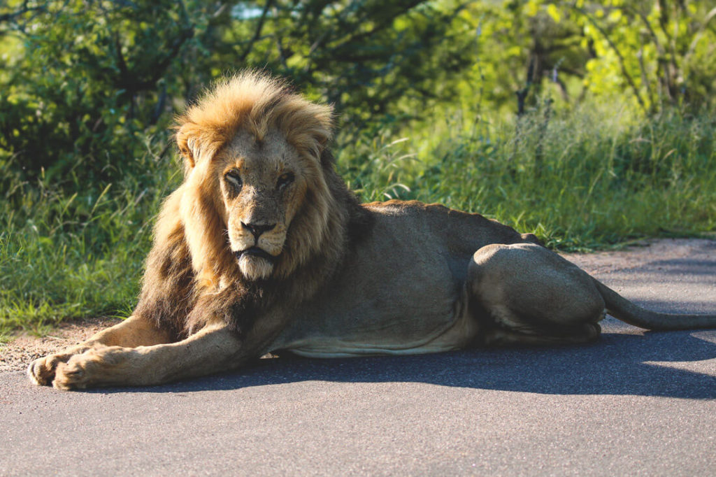 krueger-national-park-suedafrika-loewe-safari