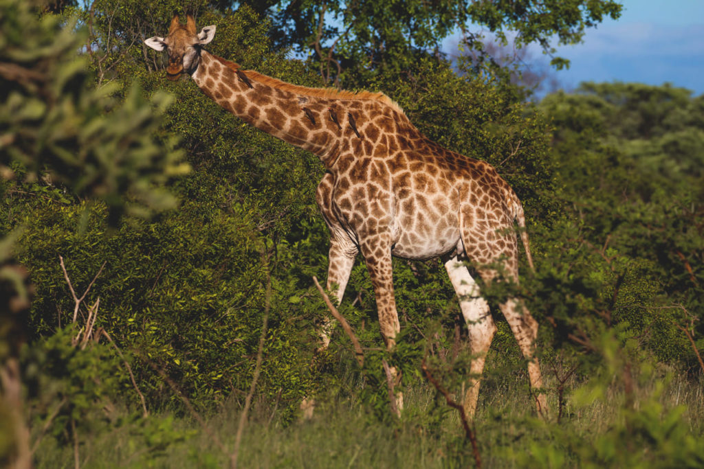 krueger-nationalpark-suedafrika-giraffe-safari