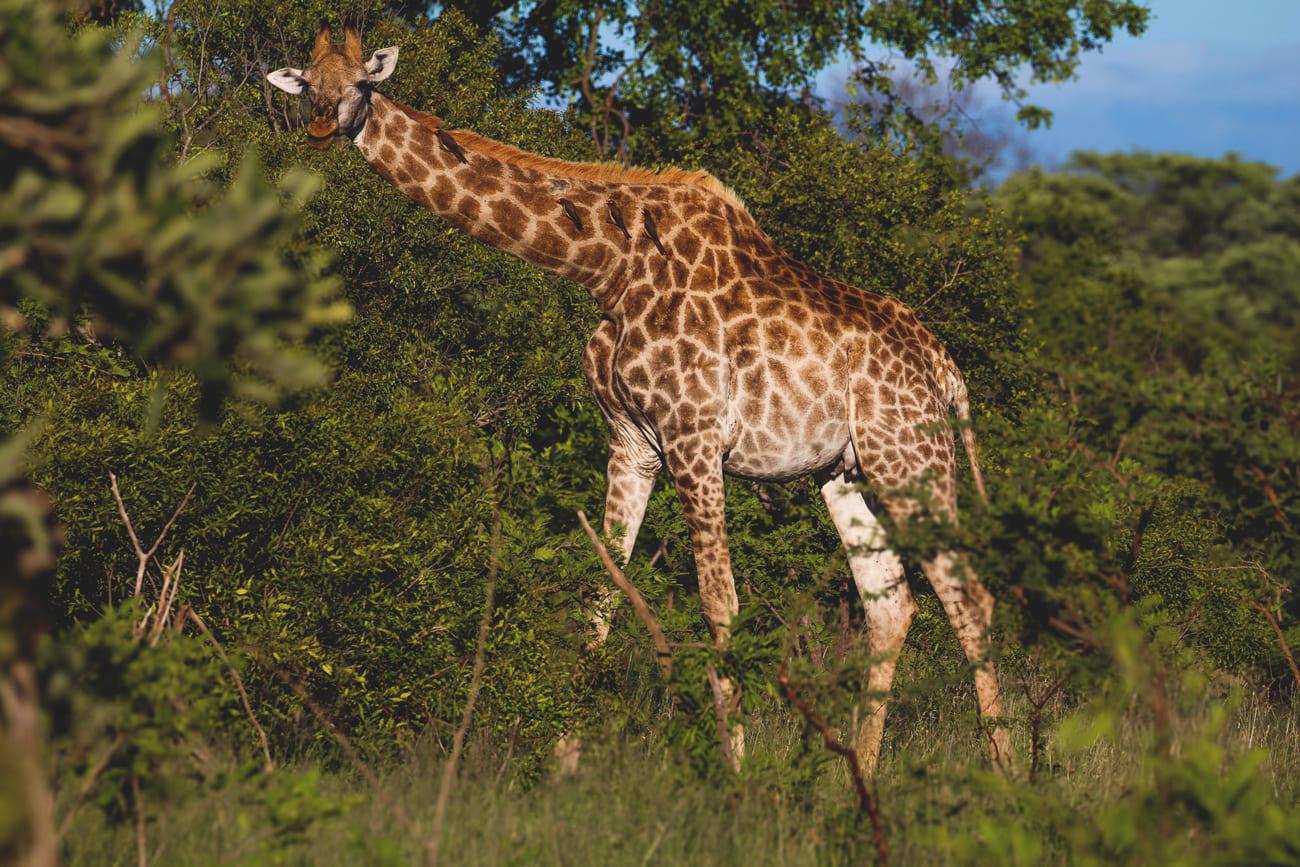 krueger-nationalpark-suedafrika-giraffe-safari