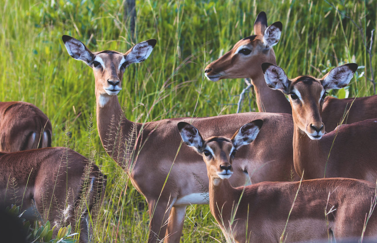 krueger-nationalpark-suedafrika-safari-impala