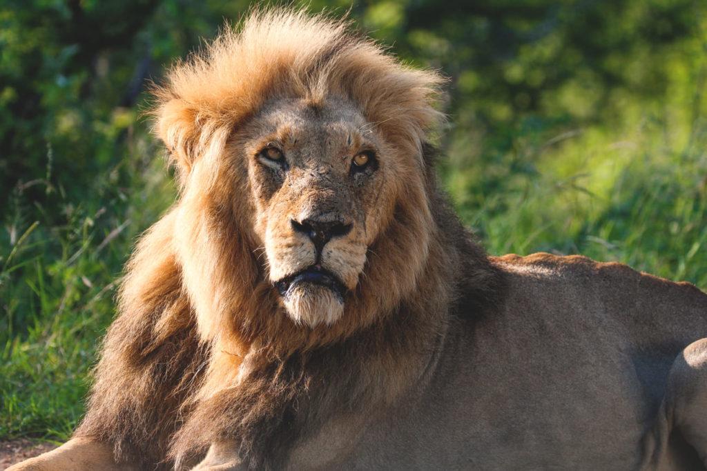 krueger-nationalpark-suedafrika-safari-loewe