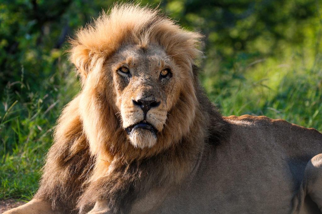 kruger-nationalpark-safari-tiere-loewe-suedafrika
