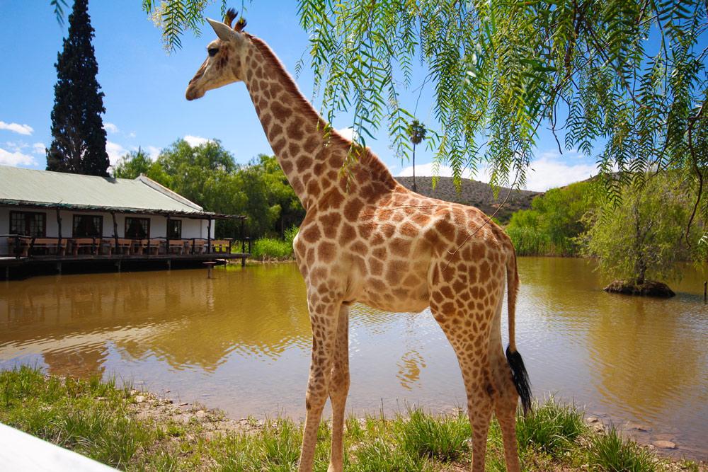 oudtshoorn-chandelier-lodge-giraffe