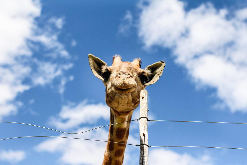 oudtshoorn-suedafrika-chandelier-game-lodge-giraffe