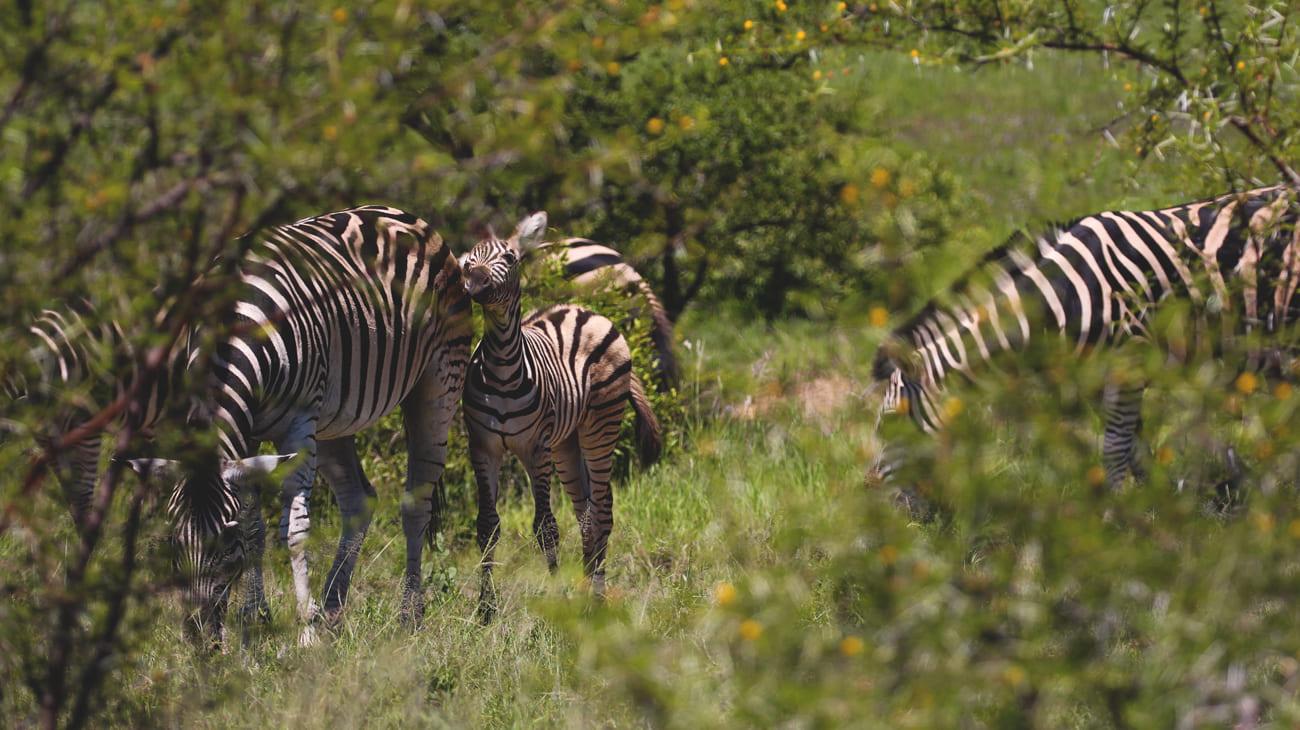 safari-krueger-nationalpark-zebra-kind