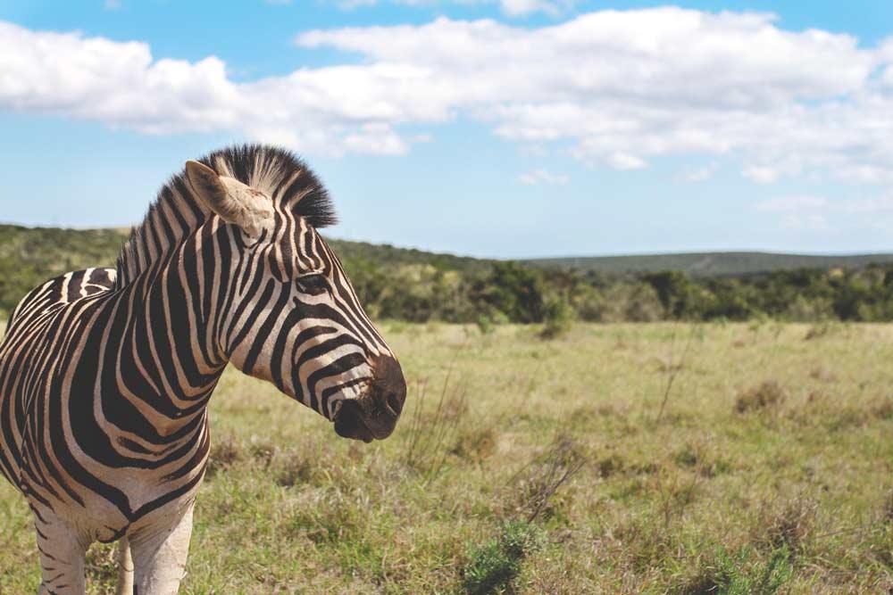 suedafrika-rundreise-safari-zebra-addo-elephant-park