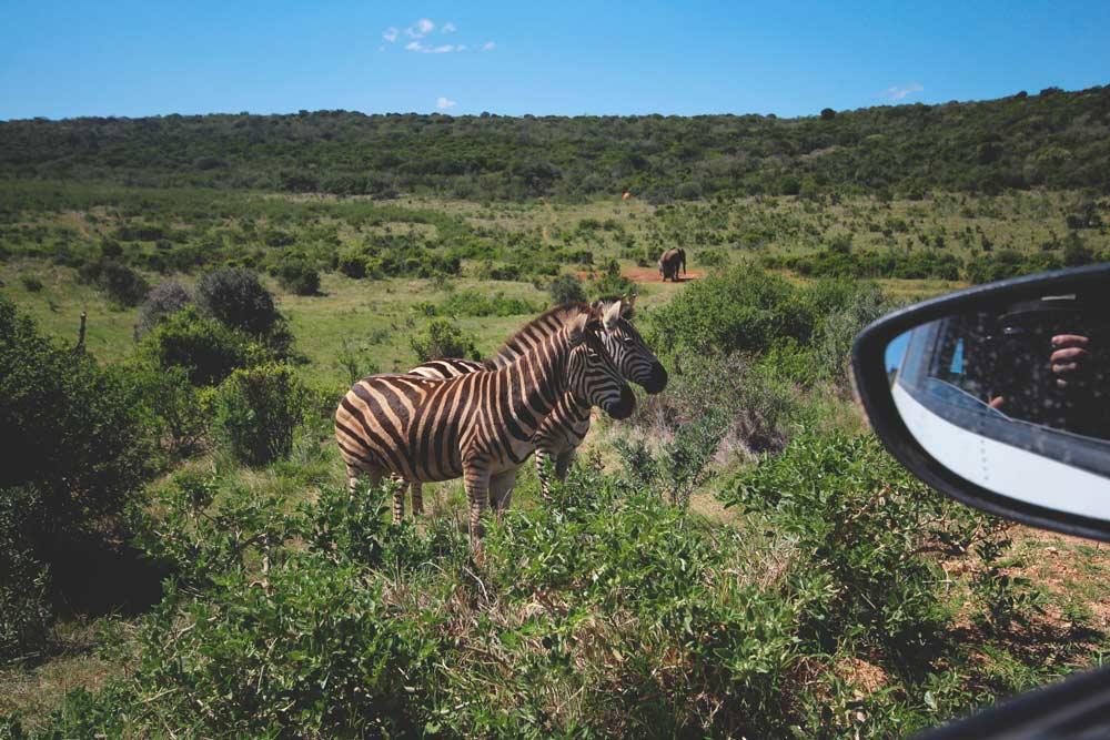 zebra-suedafrika-rundreise-adoo-elephant-park