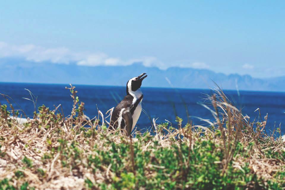 pinguine-boulders-beach-suedafrika