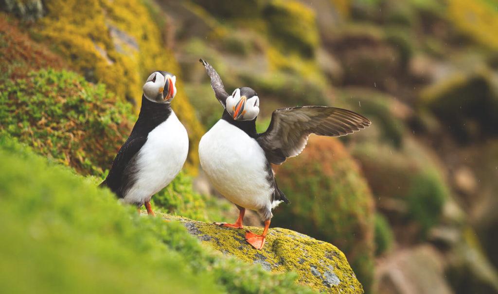 Island-Puffin-Papageientaucher-beste-Reisezeit