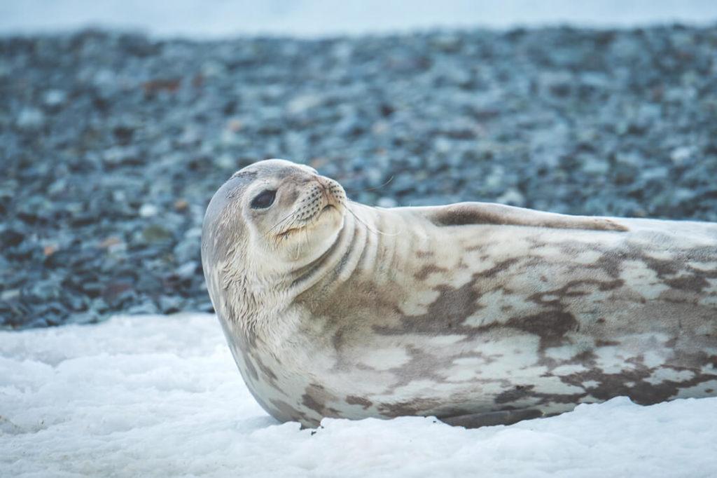 Antarktis-Reise-Ozean-Wedellrobbe