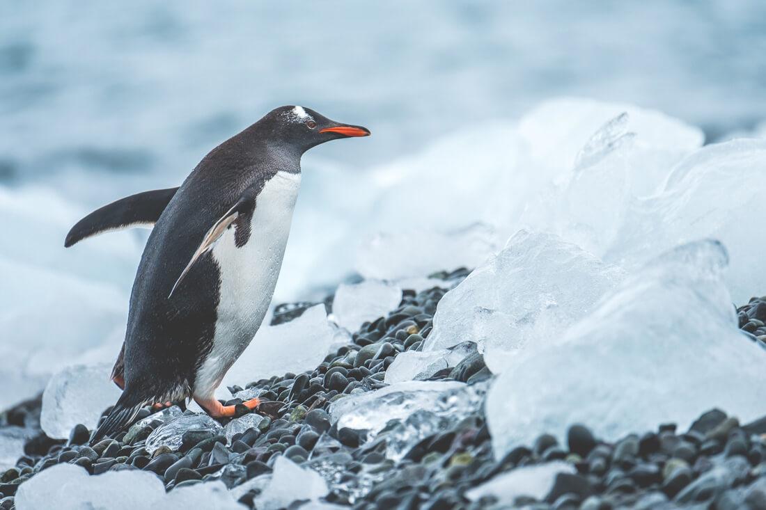 Antarktis-Reise-Pinguine-Wildlife-Eis