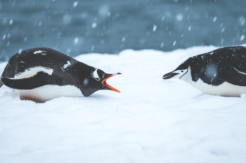 reise-antarktis-eselspinguine-kampf-eis