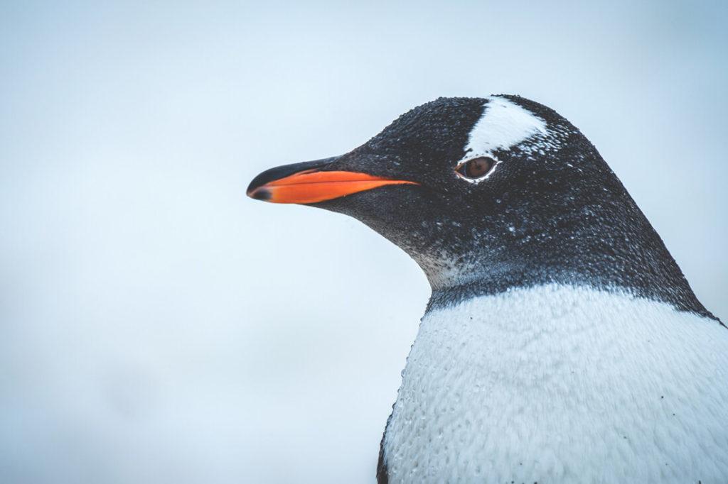 reise-in-die-antarktis-eselspinguin-nahaufnahme