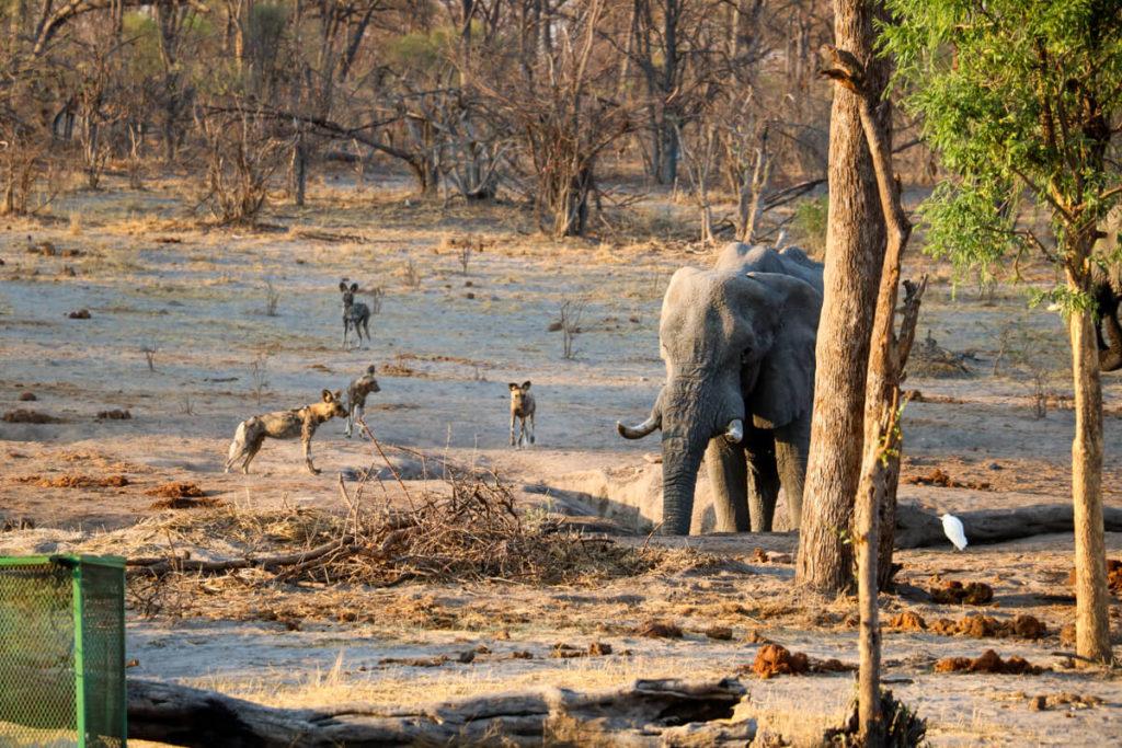 Botswana-Elefant-Wildhunde-Wildnis