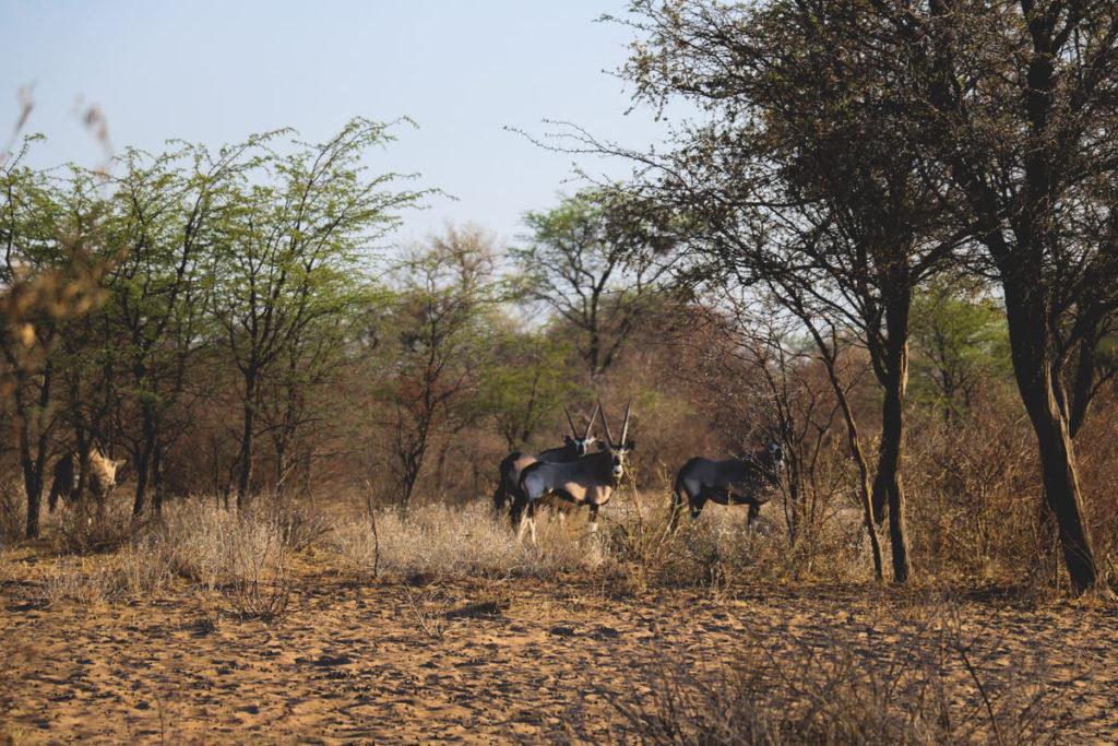 Botswana-Safari-Wilde-Tiere-Antilope