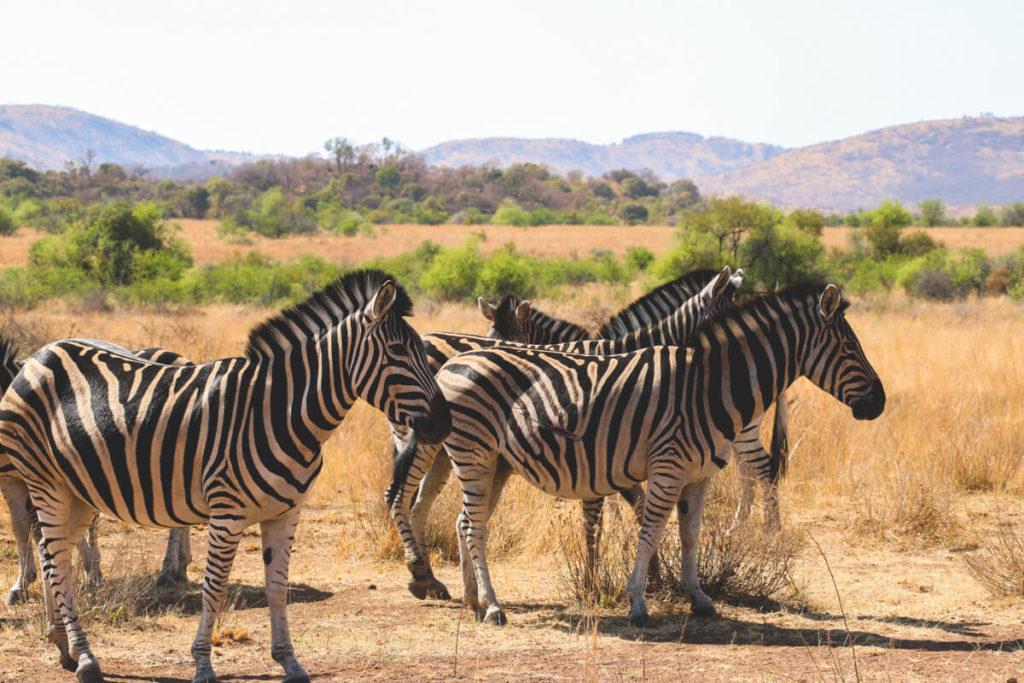 Botswana-Suedafrika-Pilanesberg-Zebra