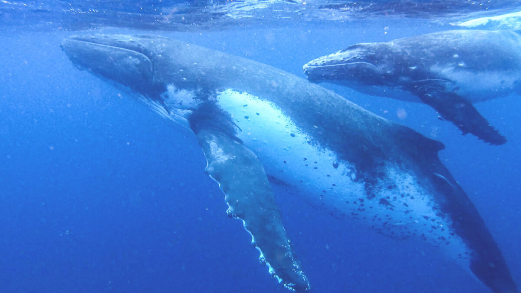 Tonga-Reise-Walschwimmen-Buckelwal