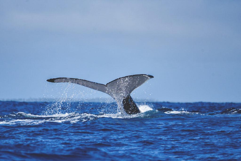 tonga-reise-mit-walen-schwimmen-buckelwal