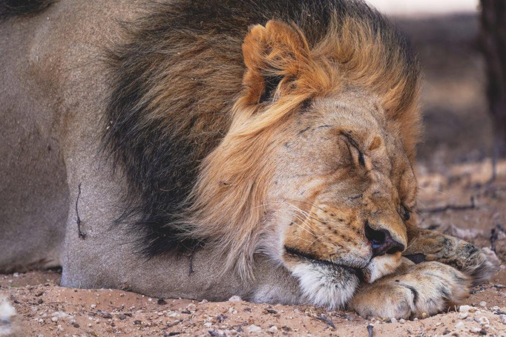 Kgalagadi-Transfrontier-Nationalpark-Kalahari-Loewe-Suedafrika