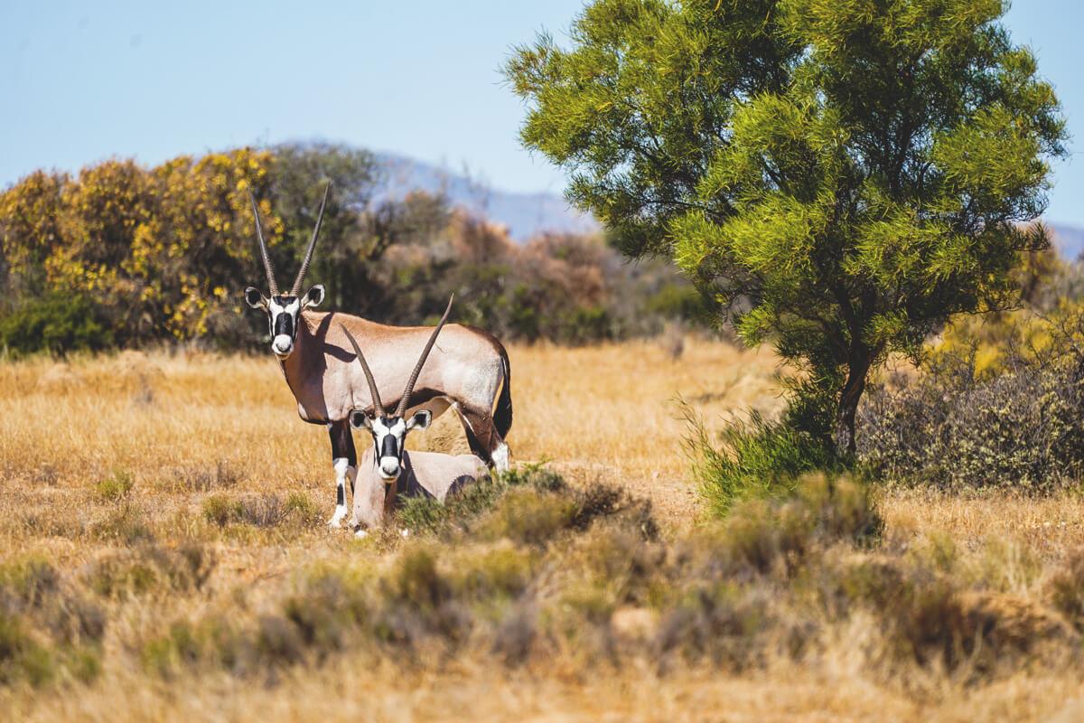 northern-cape-suedafrika-namaqua-national-park-oryx-antilopen