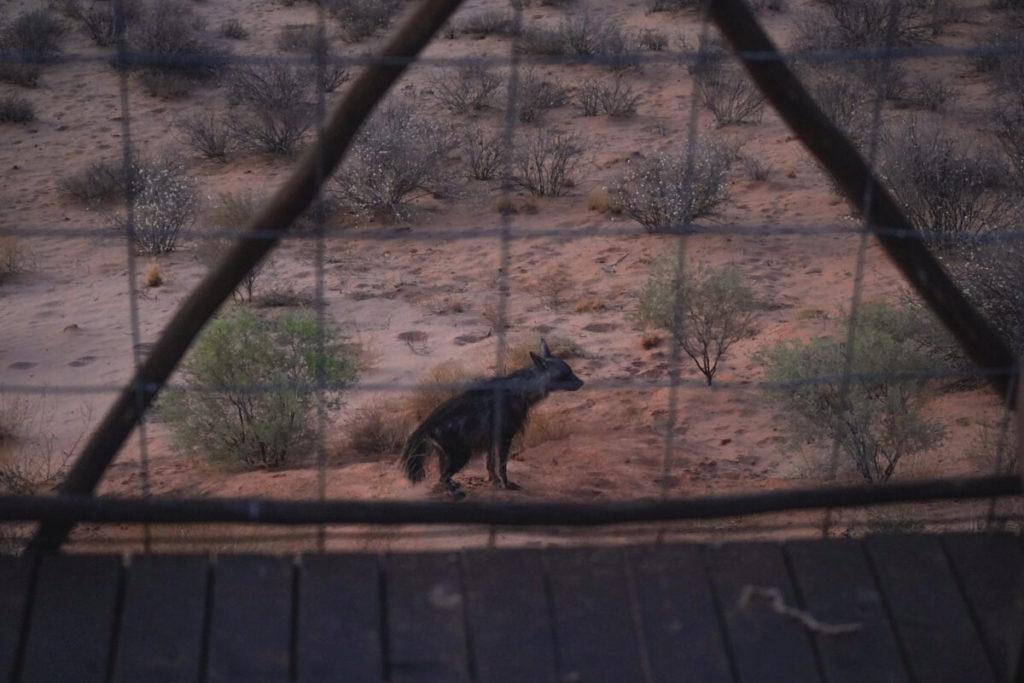 Eine Hyäne vor dem Zimmer