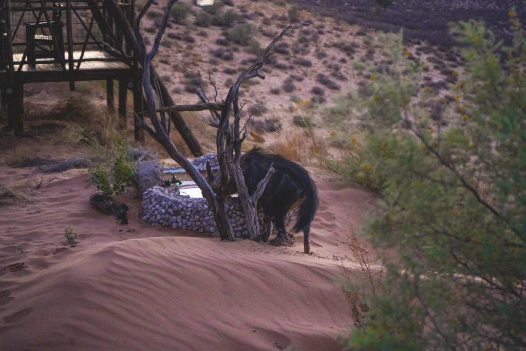 Eine Hyäne am Wasserbecken