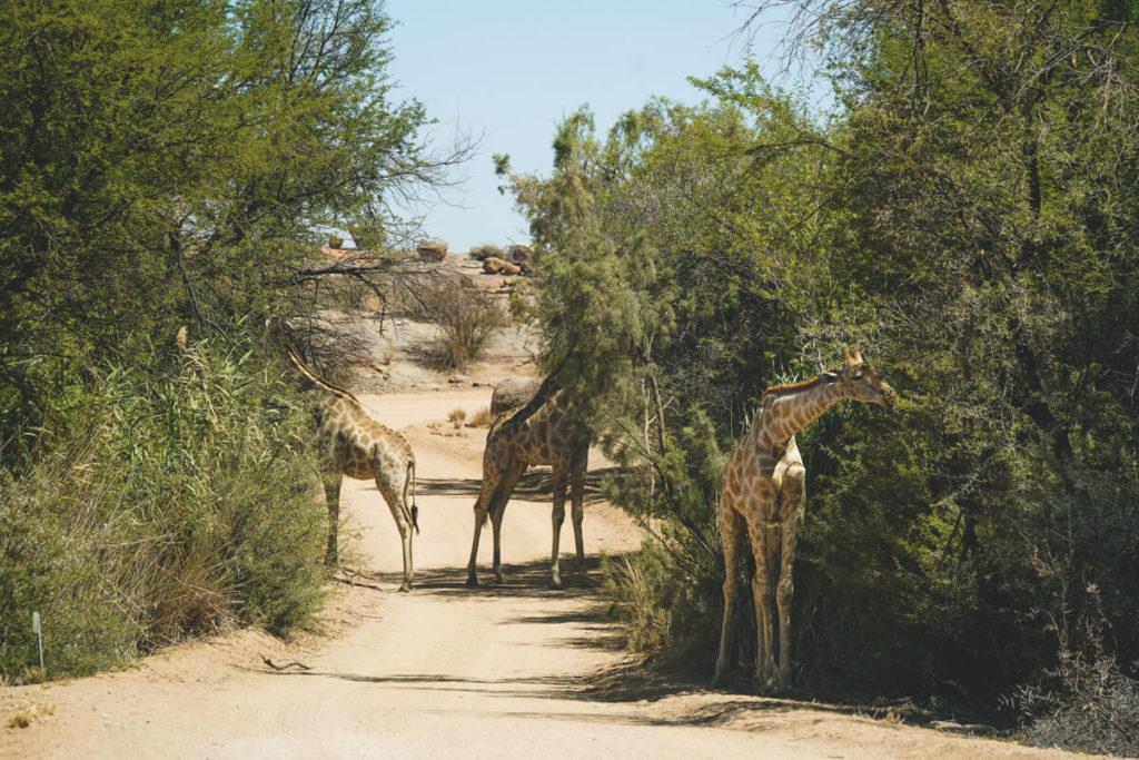 Augrabies-Falls-National-Park-Suedafrika-Giraffen