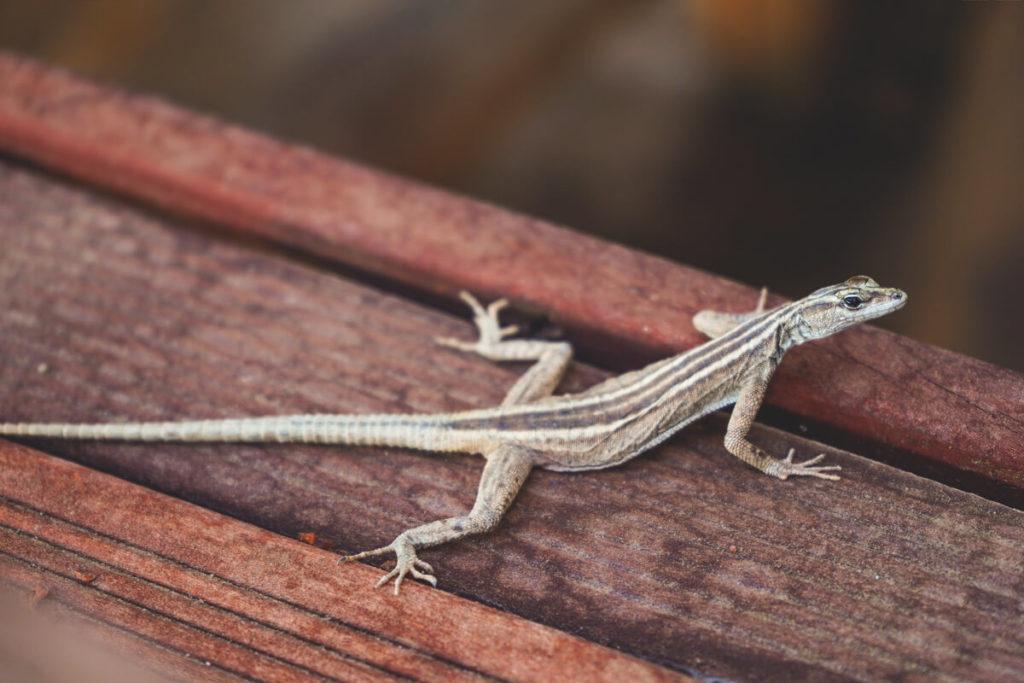 Flat-Lizard-Suedafrika-Augrabies