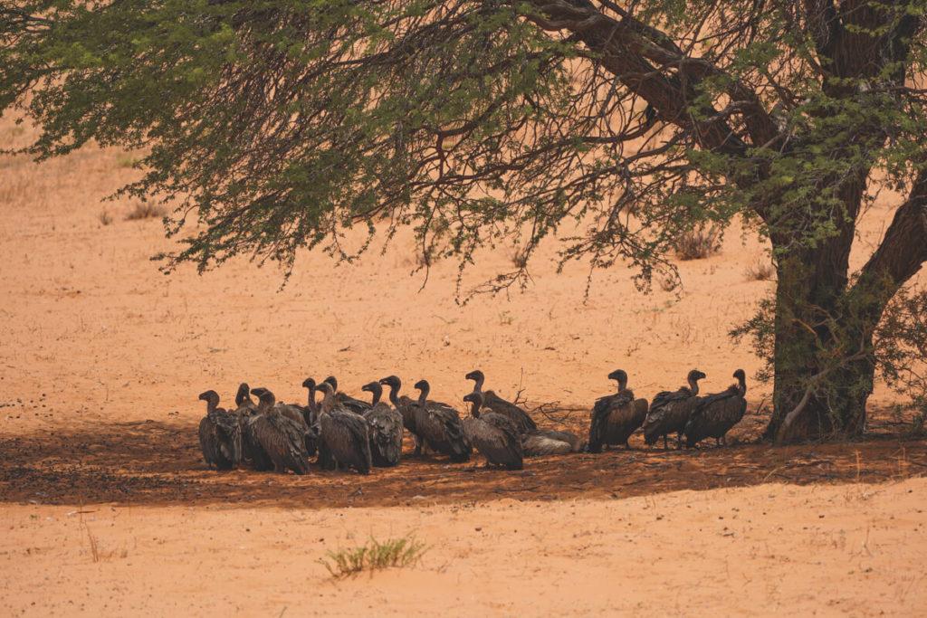 Kgalagadi-Transfrontier-National-Park-Aasgeier
