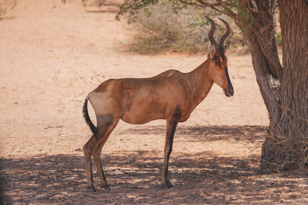Kgalagadi-Transfrontier-National-Park-Eland-Antilope