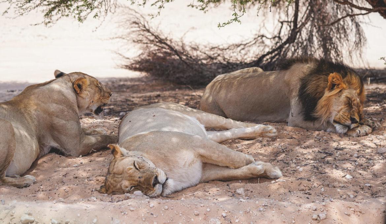Der einzigartige Kgalagadi Transfrontier National Park in Südafrika
