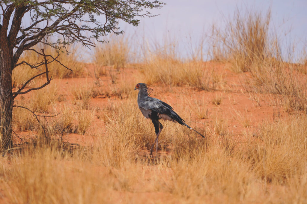 Kgalagadi-Transfrontier-National-Park-Secretary-Bird